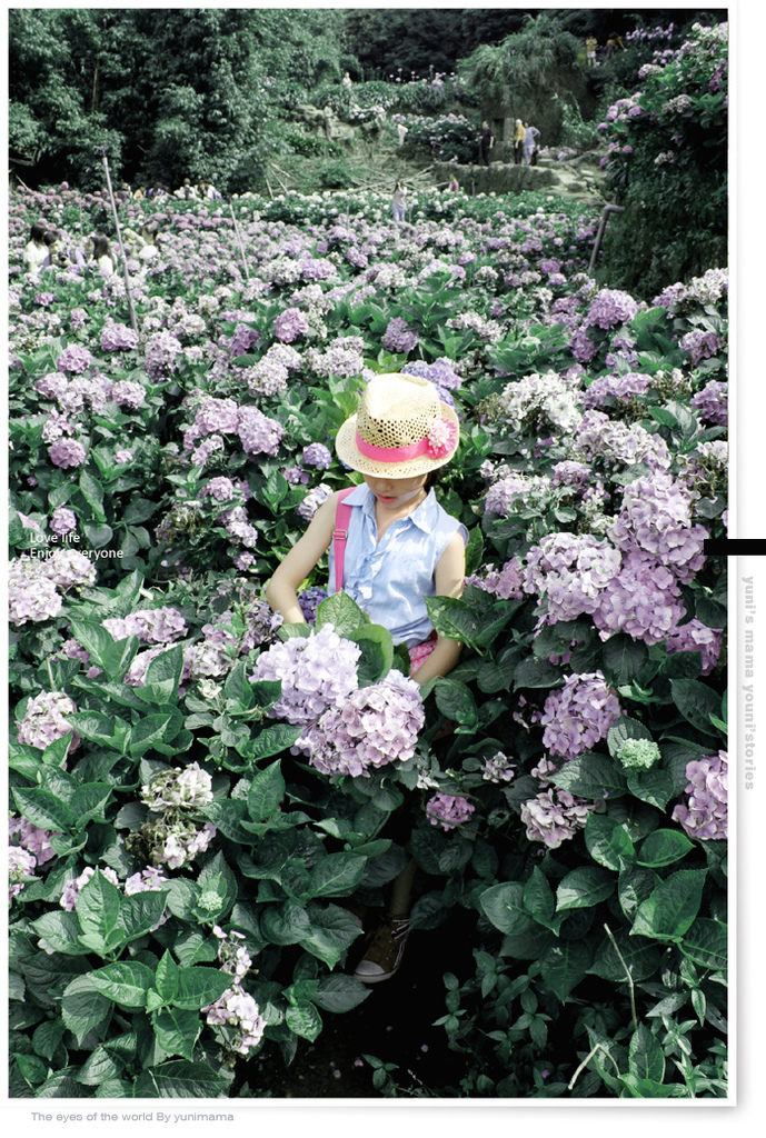 陽明山:水車寮步道│繡球花團的繽紛世界