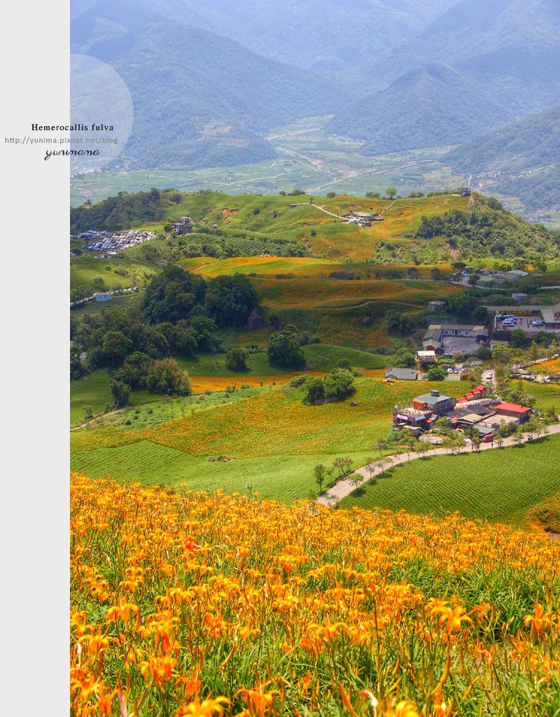 花蓮│金黃耀眼的六十石山:::迷人的金針花毯
